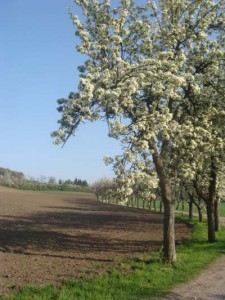 Sommerschnitt eines Obstbaumes