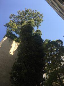 Efeubewuchs an Großbäumen muß entfernt werden