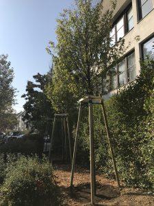 Welche Ersatzbäume werden vorgeschrieben?