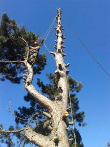 Baumabtragung einer Föhre