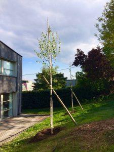 Ersatzpflanzung nach Baumfällung